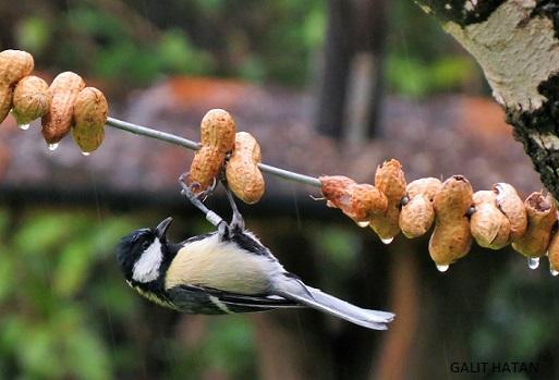 ירגזי בתחנה לחקר ציפורים