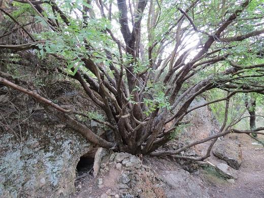 בתוך סבך עצים מסתתר העץ הזה, ולידו שלושה פתחי מערה קטנים