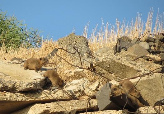 בעודנו צועדים על שביל הבוסתן, פגשנו את משפחת שפני הסלע הזו