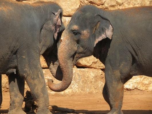 שתי פילות נפגשו בחצר של גן החיות התנ