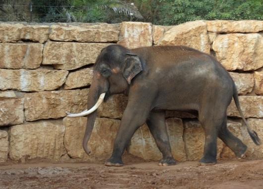 מגיב רק כשקוראים בשם התאילנדי שלו. הפיל טדי בגן החיות התנ