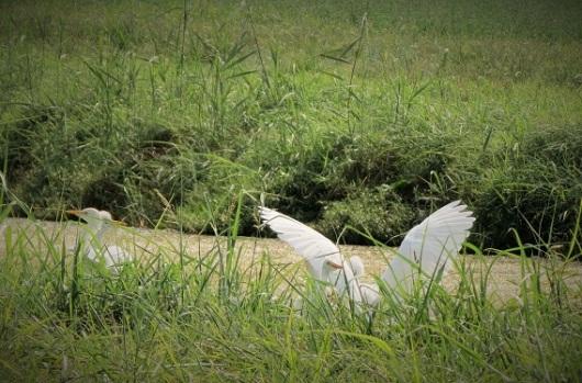 עוף חברותי החי בלהקות גדולות ליד מקורות מים מתוקים. אנפות באגמון
