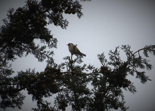 חוחית ביער קולה