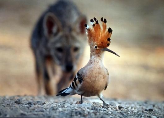 ללא שם - עירית דרוב (ישראל. תן זהוב צעיר אורב לדוכיפת בפארק הירקון. מקום ראשון בקטגוריית ציפורים)