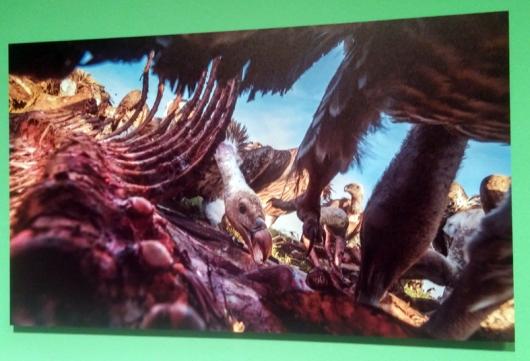 עבודה מבפנים - צ'ארלי המילטון ג'יימס (בריטניה. הצילום בוצע בפארק הלאומי סרנגטי בטנזניה. לא ברור לי איך לא זכה מקום ראשון בקטגוריה)