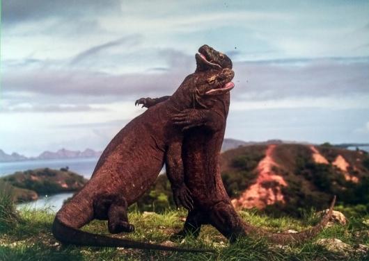 """קרב ג'ודו - אנדריי גורקוב (הצלם הוא מרוסיה, אך הצילום של שתי לטאות הכוח השוקלות 150 ק""""ג בוצע בפארק הלאומי קומודו שבאינדונזיה)"""
