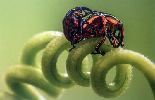 יופי של חיפושית וסליל האהבה – חוויאר אסנר גונסלס דה רואדה (ספרד. צולם במדרונות הר הגעש טונגוראווה. אורכן של החדקוניות הוא מילימטרים ספורים בלבד)