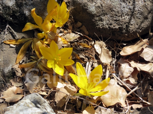 עונת החלמוניות היא בחודשים אוקטובר-נובמבר, ואחד המיקומים הבולטים של הפריחה הוא רכס בשנית
