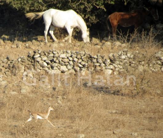 הצבאים עמדו ליד שני סוסים נטולי בעלים ונטולי אוכף