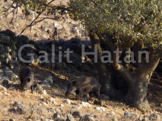 חברי שבט חזירי הבר הראשון שפגשנו בשביל רמת הגולן