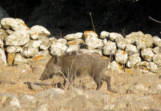 שבטים שבטים, גברים נשים וטף. חזיר בר ברמת הגולן